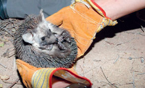 An Ethiopian Hedgehog being examined by researchers at the Qatar University farm