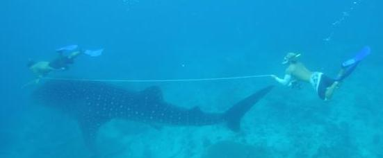 Measuring whale shark length